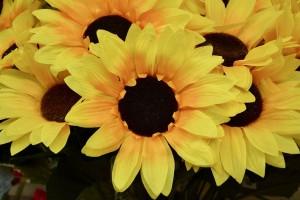 9.27.18 Sunflowers Pixabay